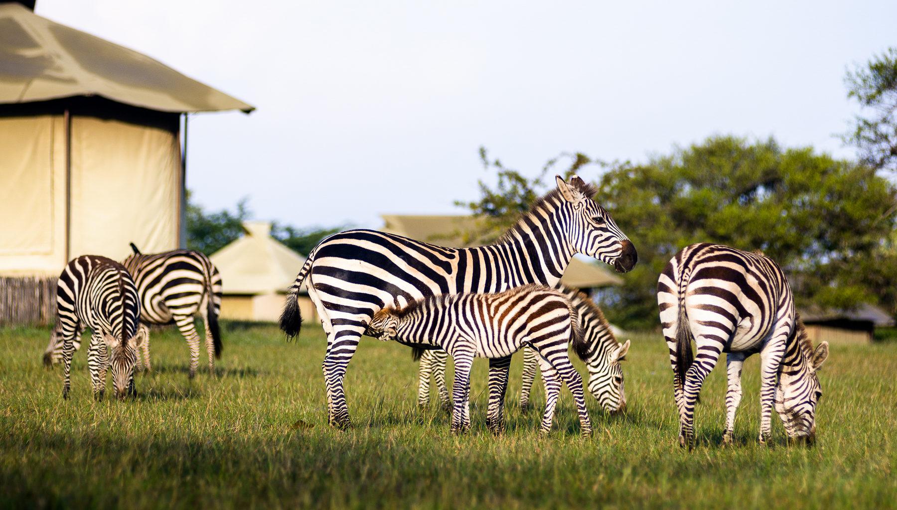 Singita Sabora Camp InteriorSingita Sabora Camp InteriorSingita Sabora Camp Zebra