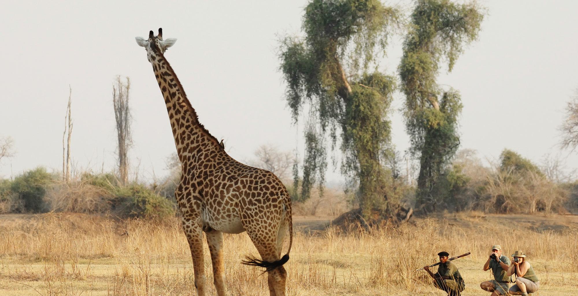 Zambia-Chikoko-Trails-Wildlife-Giraffe