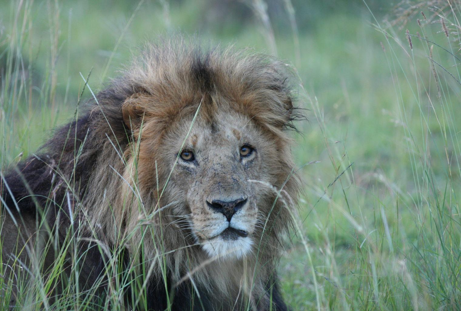 Lowis and Leakey Kenya Lion