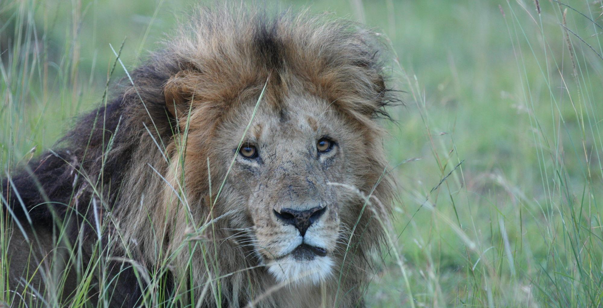 Kenya-Lowis-Leakey-Wildlife-Lion