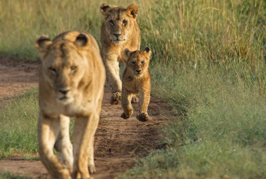 Kenya-Mara-House-Wildlife-Lion
