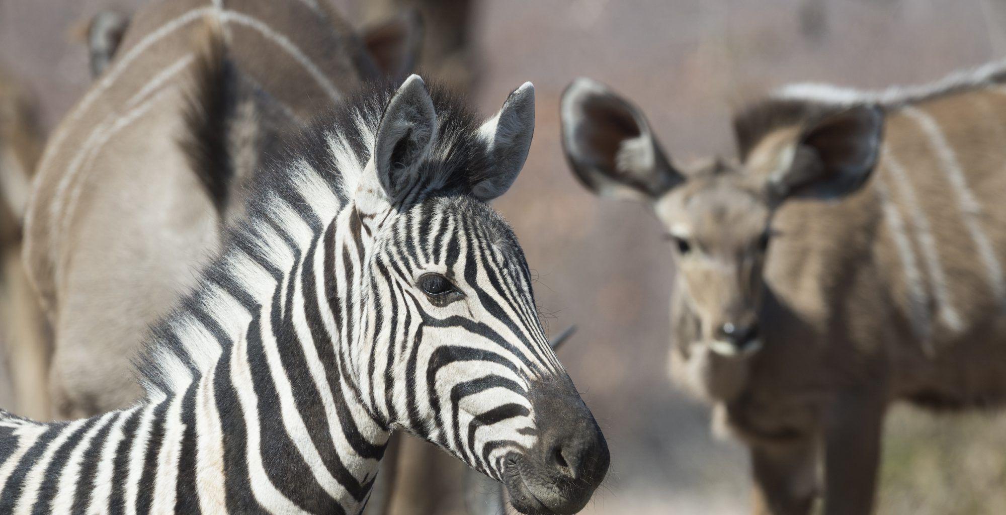 Namibia-Etosha-National-Park-Wildlife-Zebra