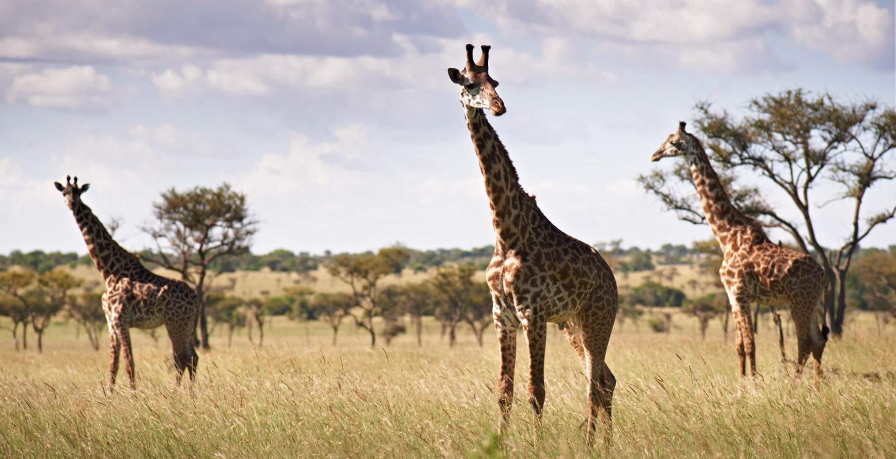 Tanzania-Singita-Serengeti-House-Wildlife-Giraffe