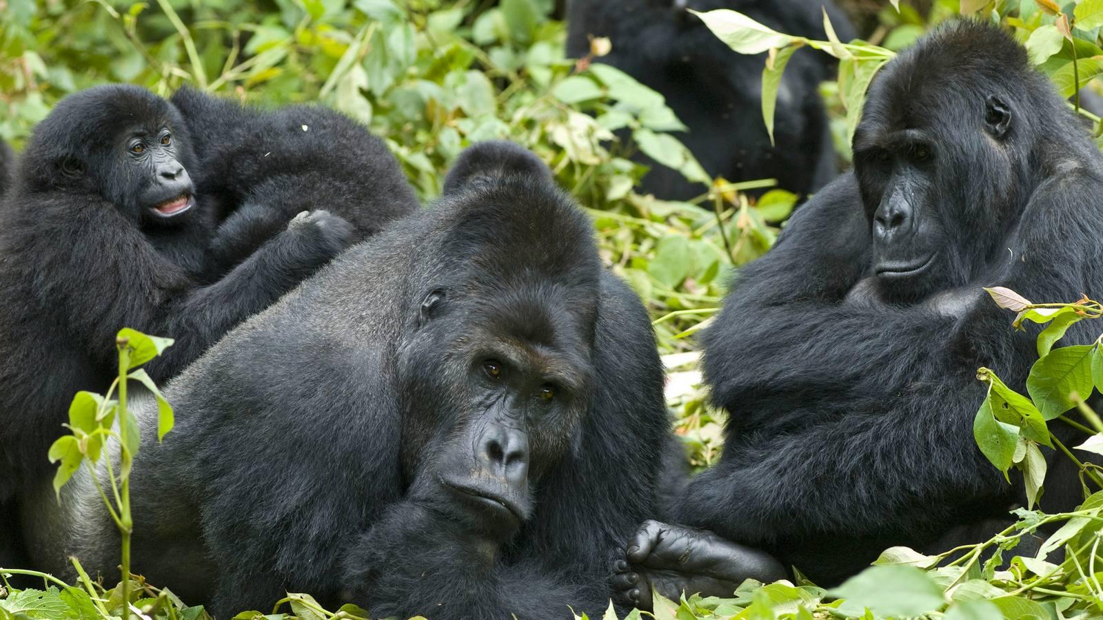 Kampala Sheraton Uganda Gorilla