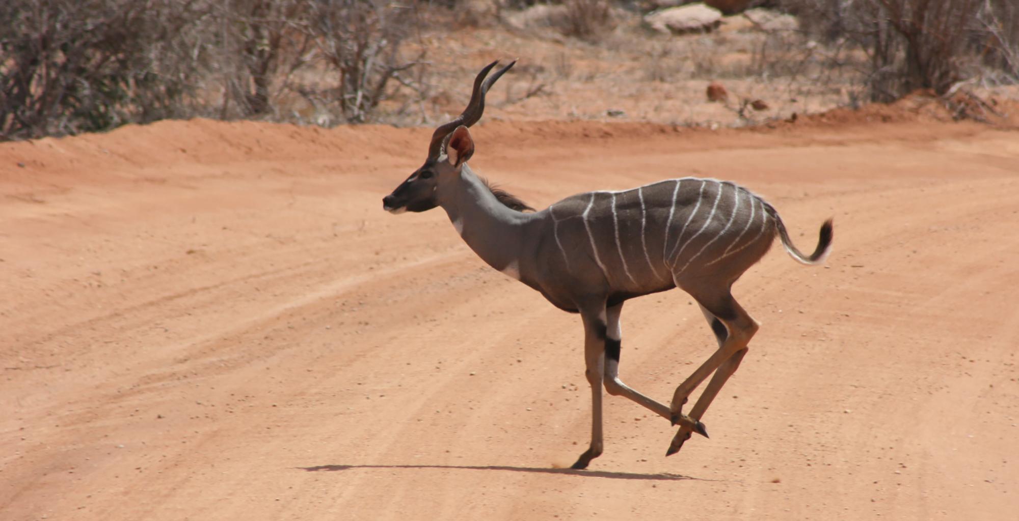Kenya-Galdessa-Wild-Bongo