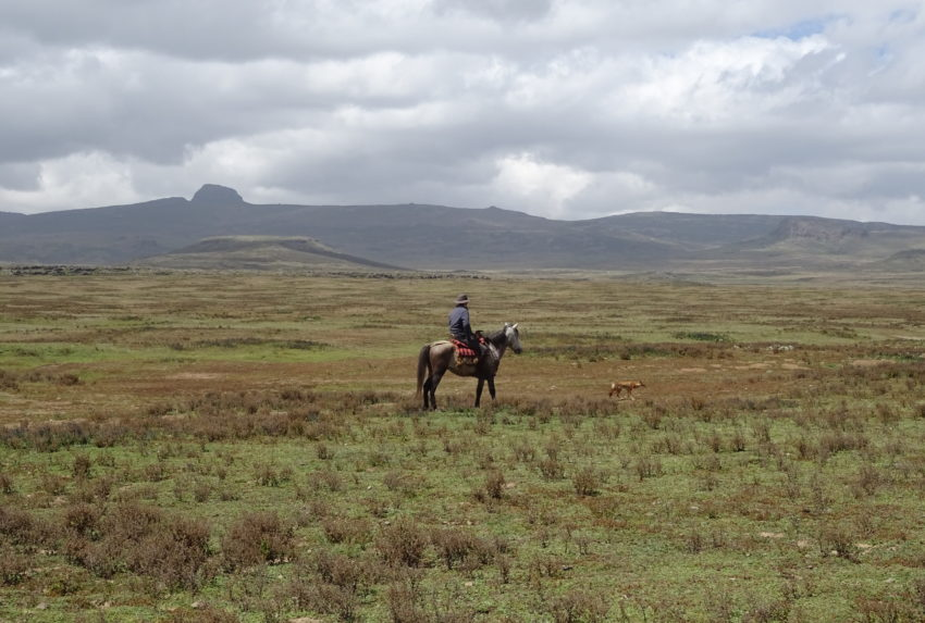 Guy Pelly tracking an Ethiopian wolf through the Bale Mountains