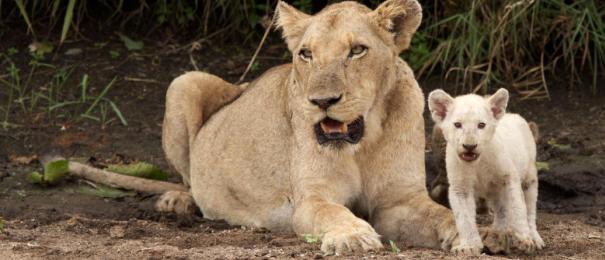 shishangaan white lion Singita Lebombo South Africa