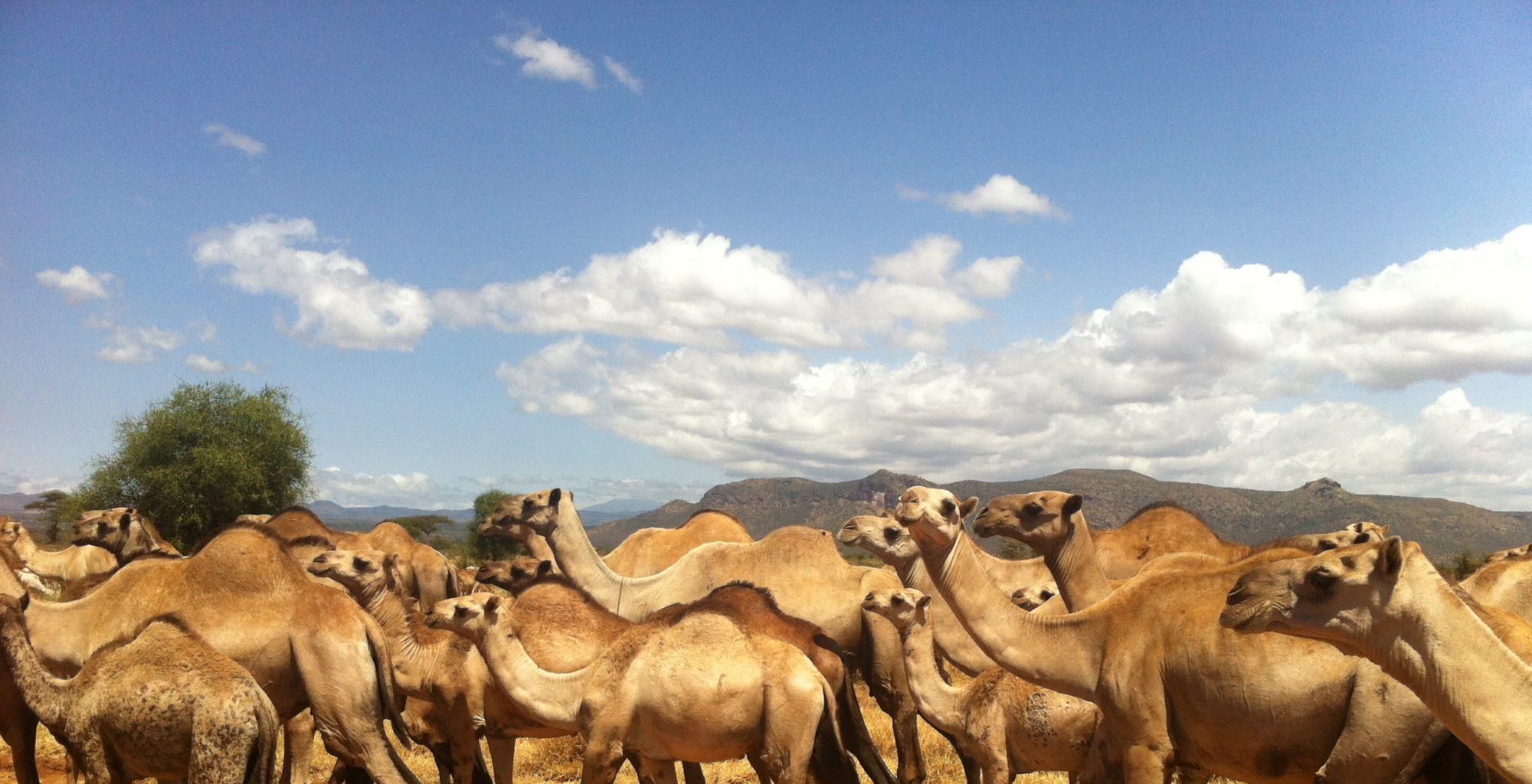 Lattitude Kenya Camel
