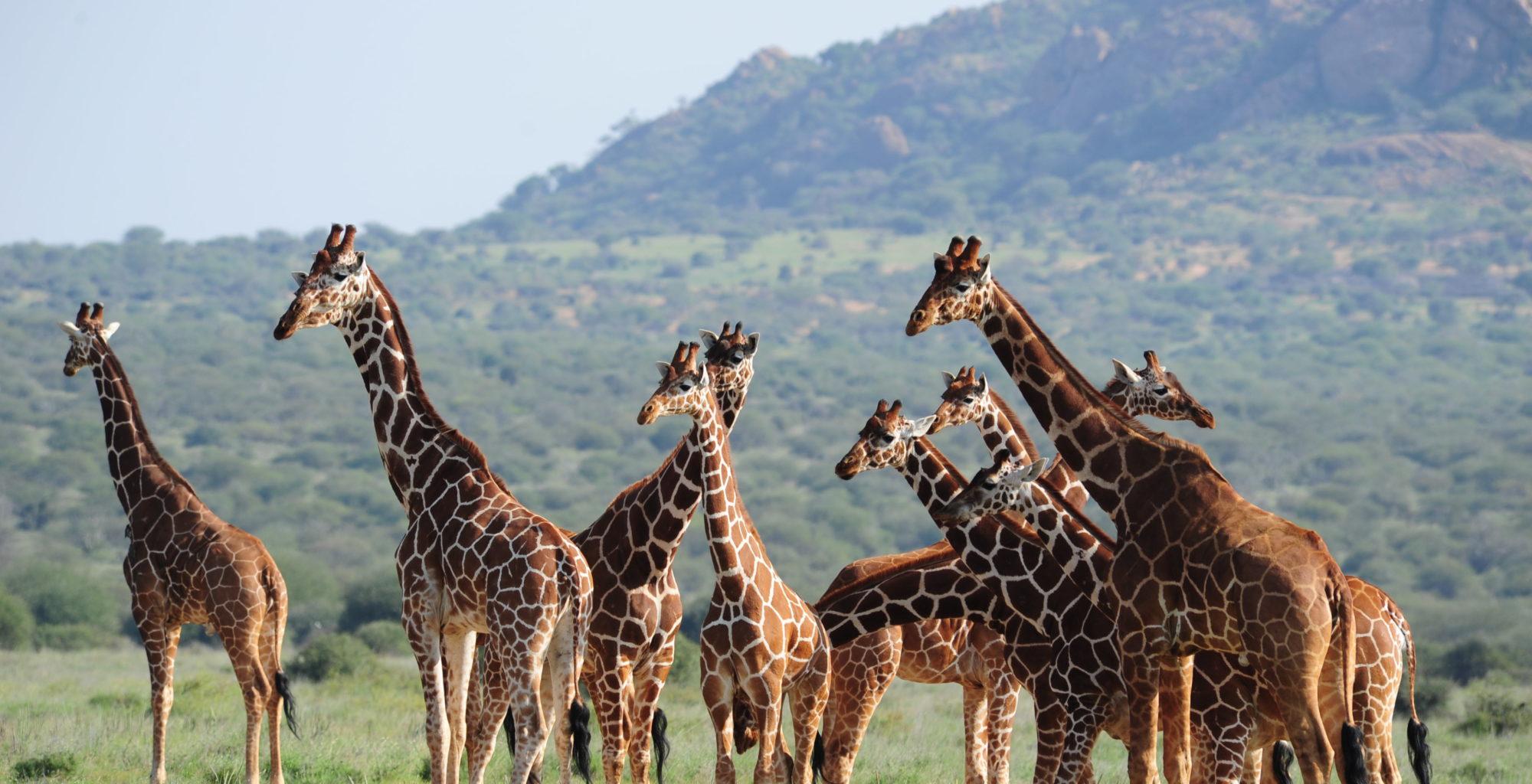 Karisia Safaris Giraffe