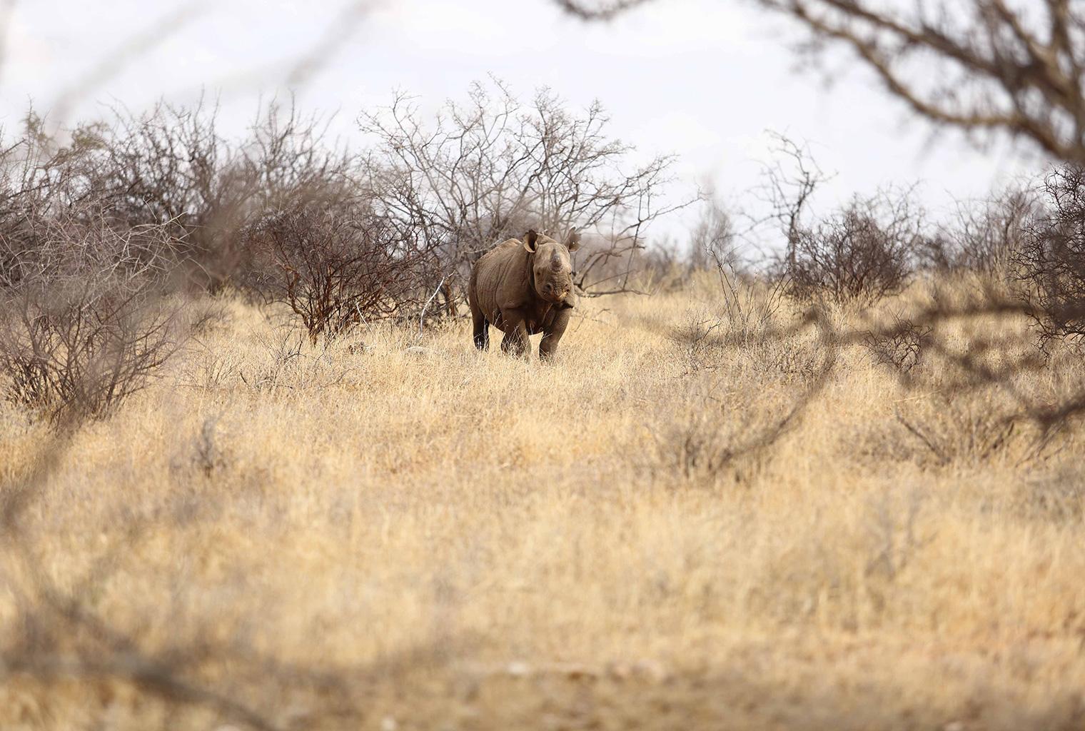 Saruni-Rhino-Tracking-Kenya-Rhinos