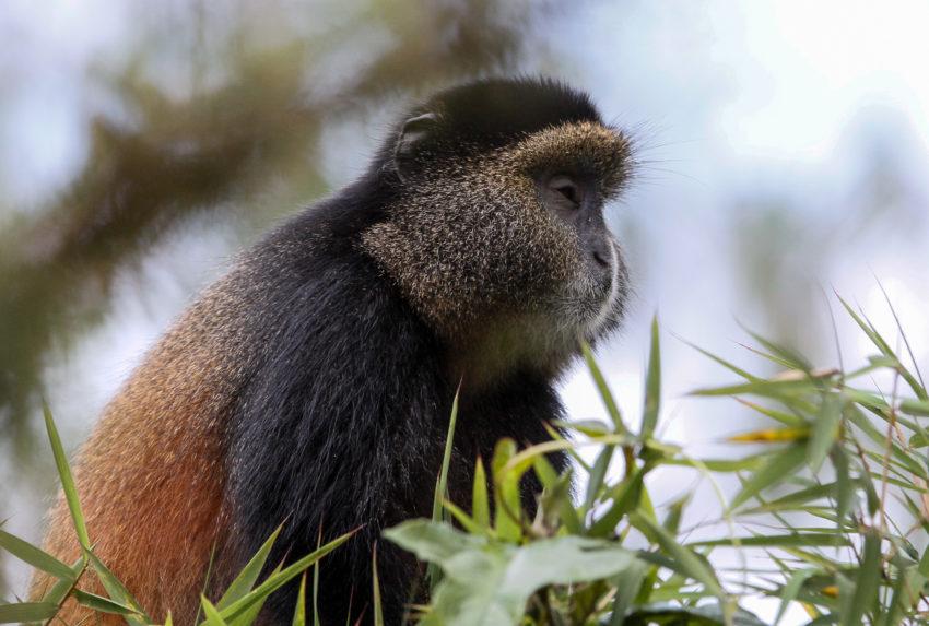 Bisate Lodge Wildlife Rwanda