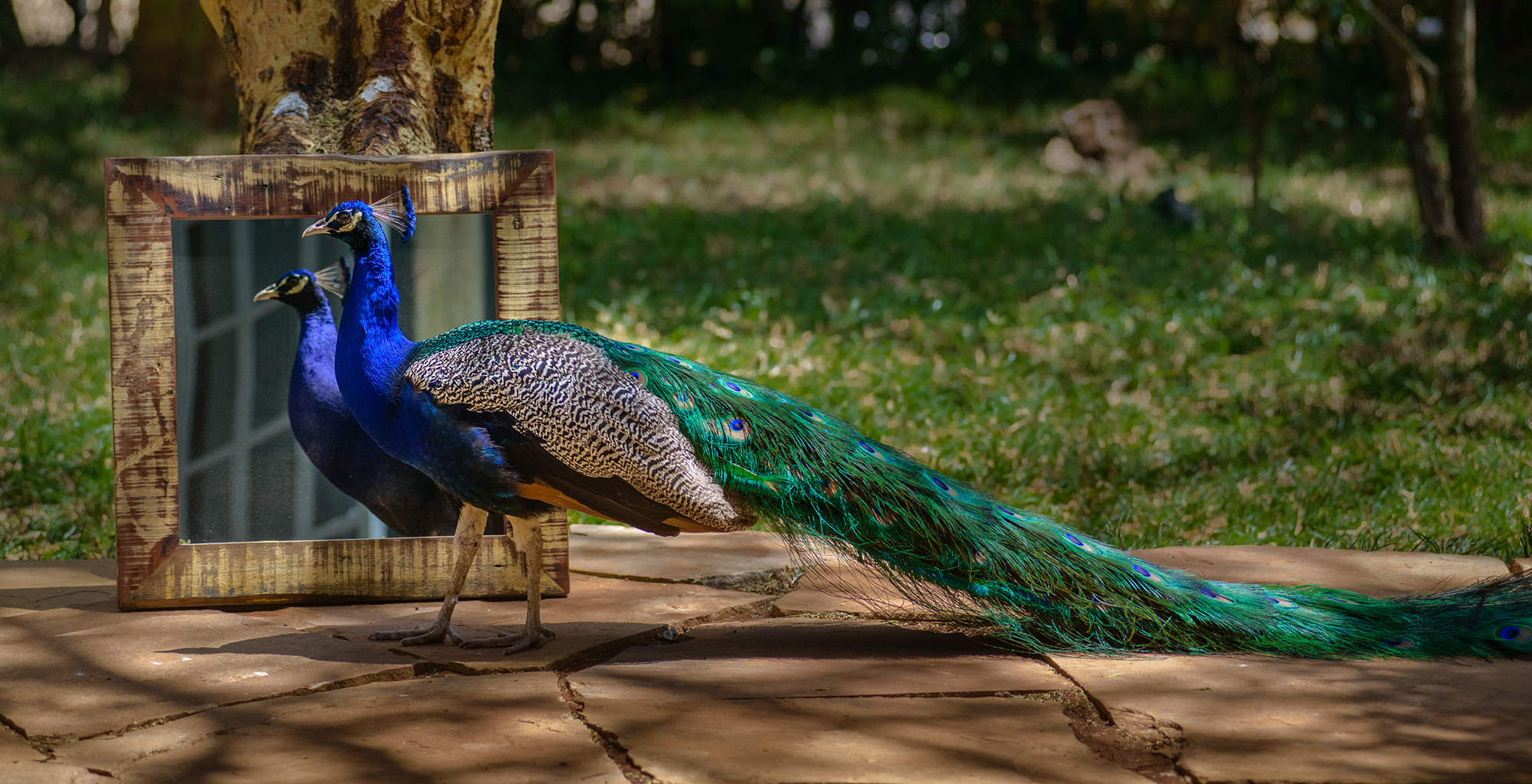 Kenya-One-Forty-Eight-Peacock