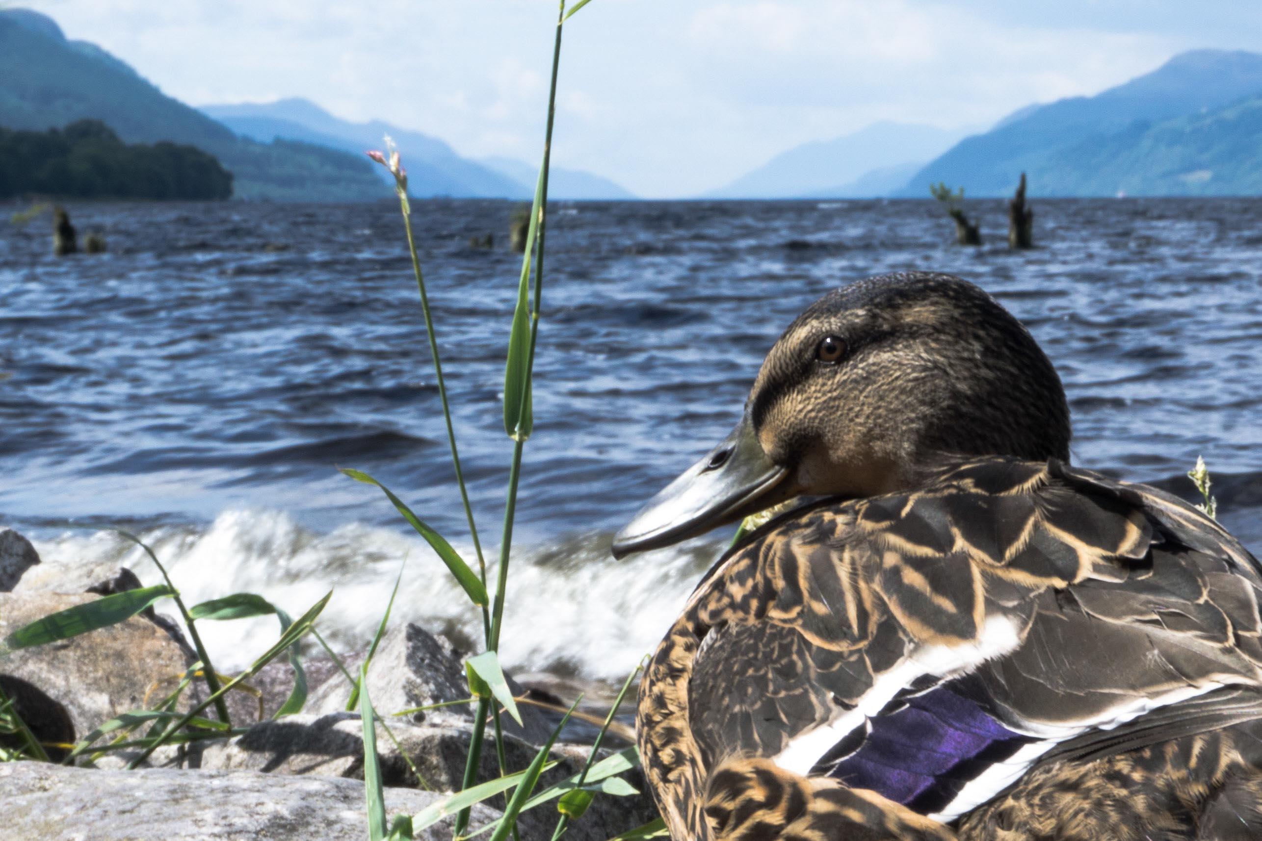 Loch Ness Duck
