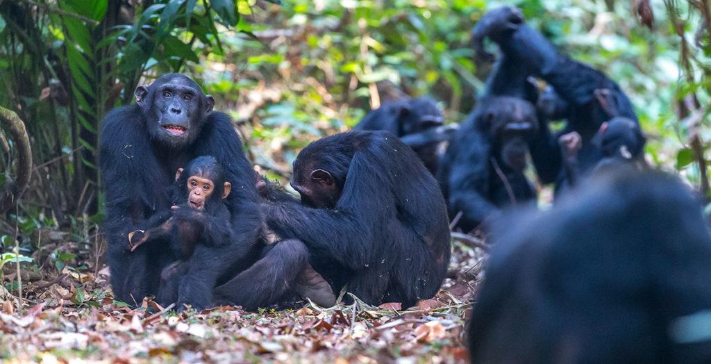 Mahale Chimp Family