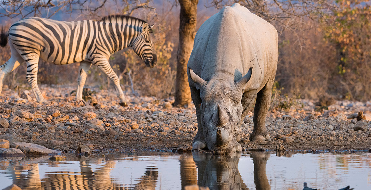 White-Rhino-Drinking-at-a-water-hole-in-Ongava