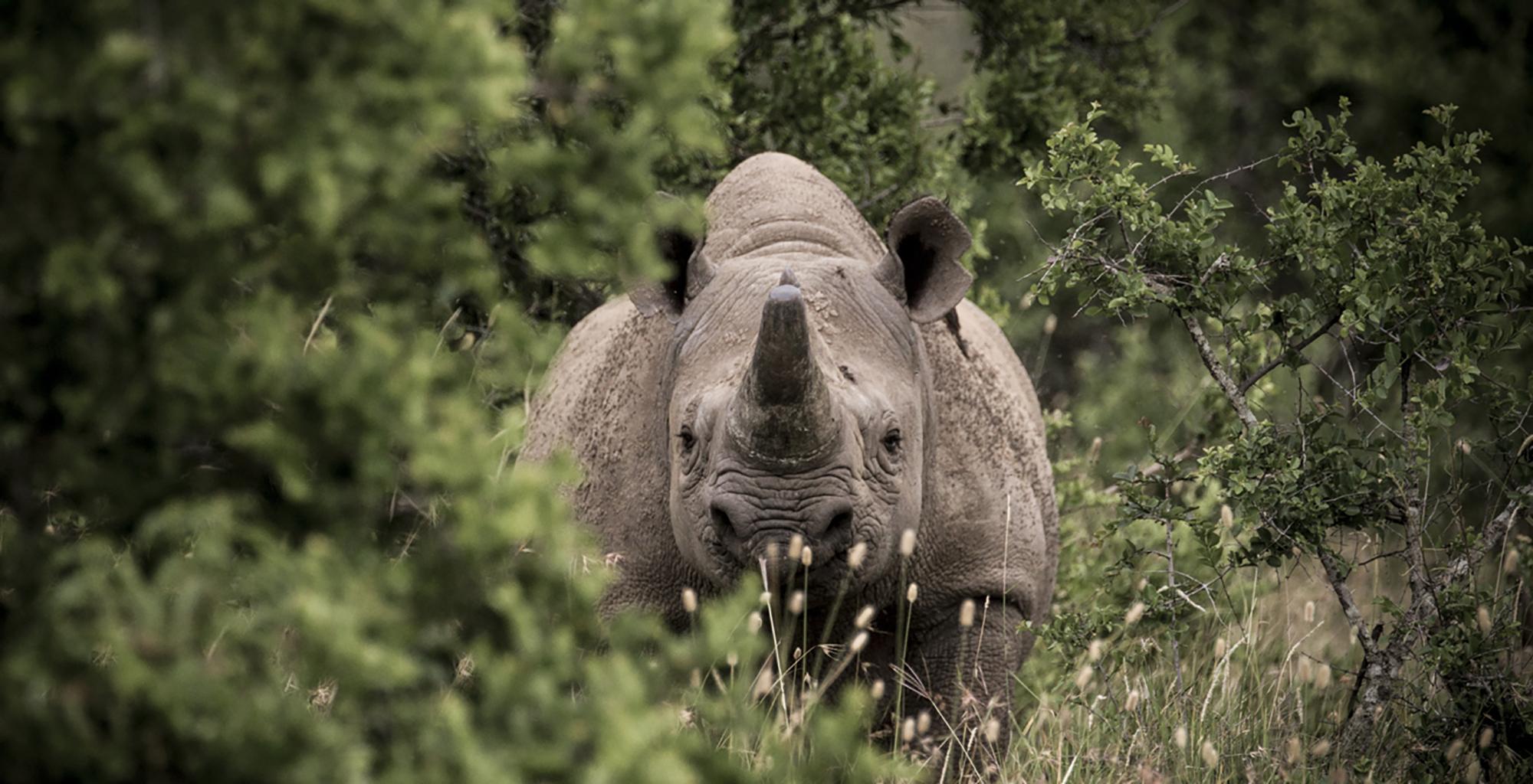 Kenya-Ariijju-Rhino