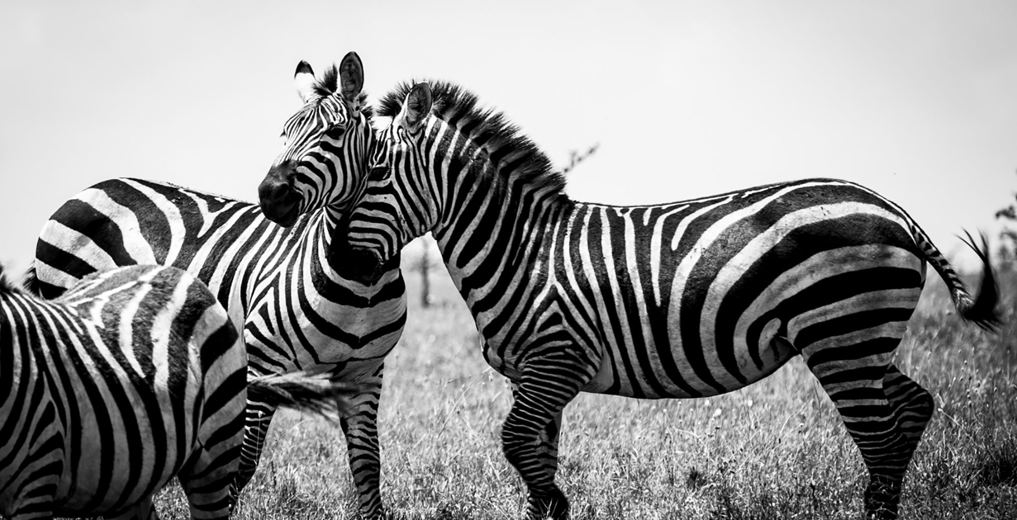 Kenya-Ariijju-Zebra