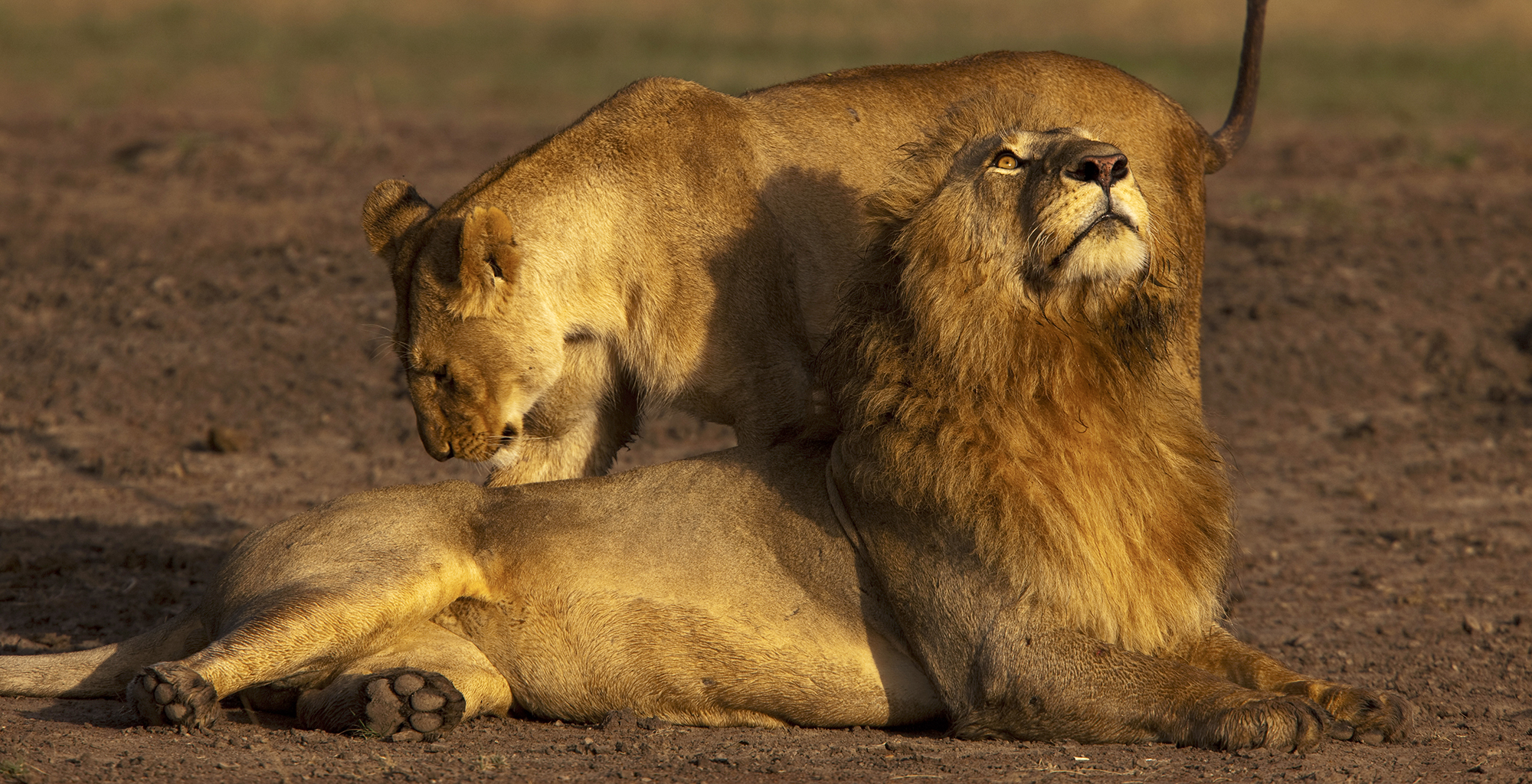 Kenya-Mara-Expedition-Camp-Lion