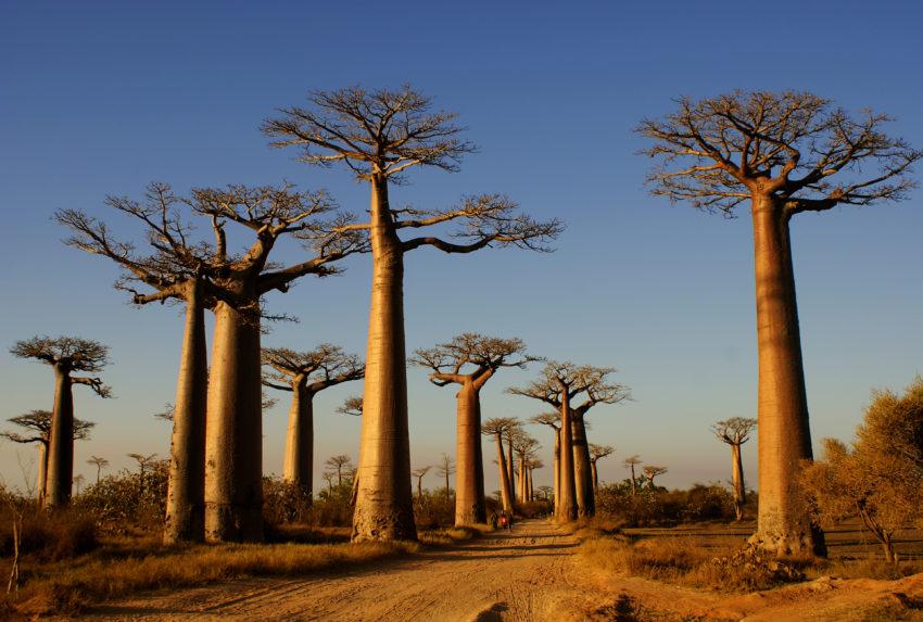 Baobab Alley Morondava