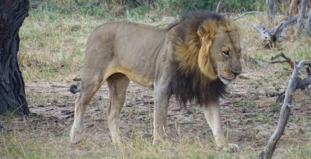 Bubesi-Zimbabwe-Lion