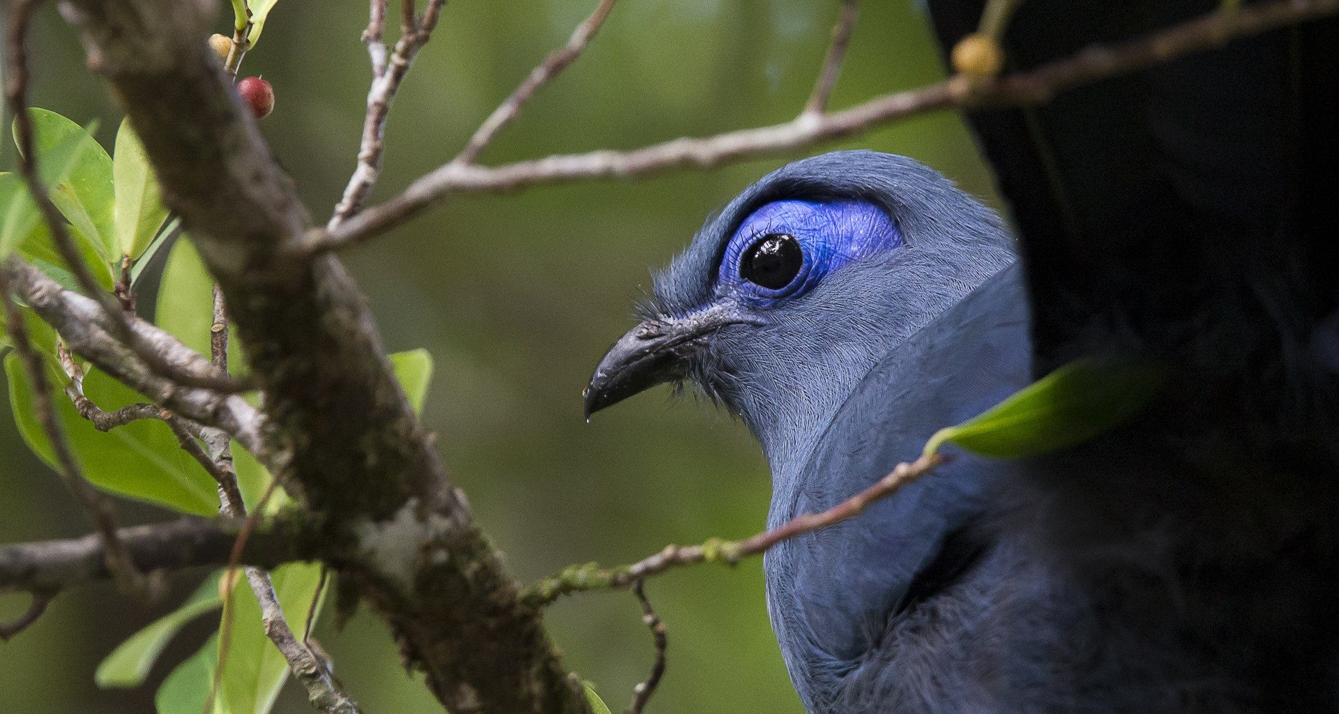 Blue Coua Madagascar East