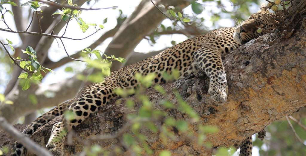 Leopard asleep in a tree