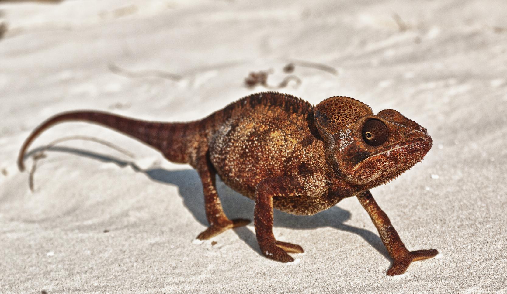Madagascar-Wildlife-Chameleon