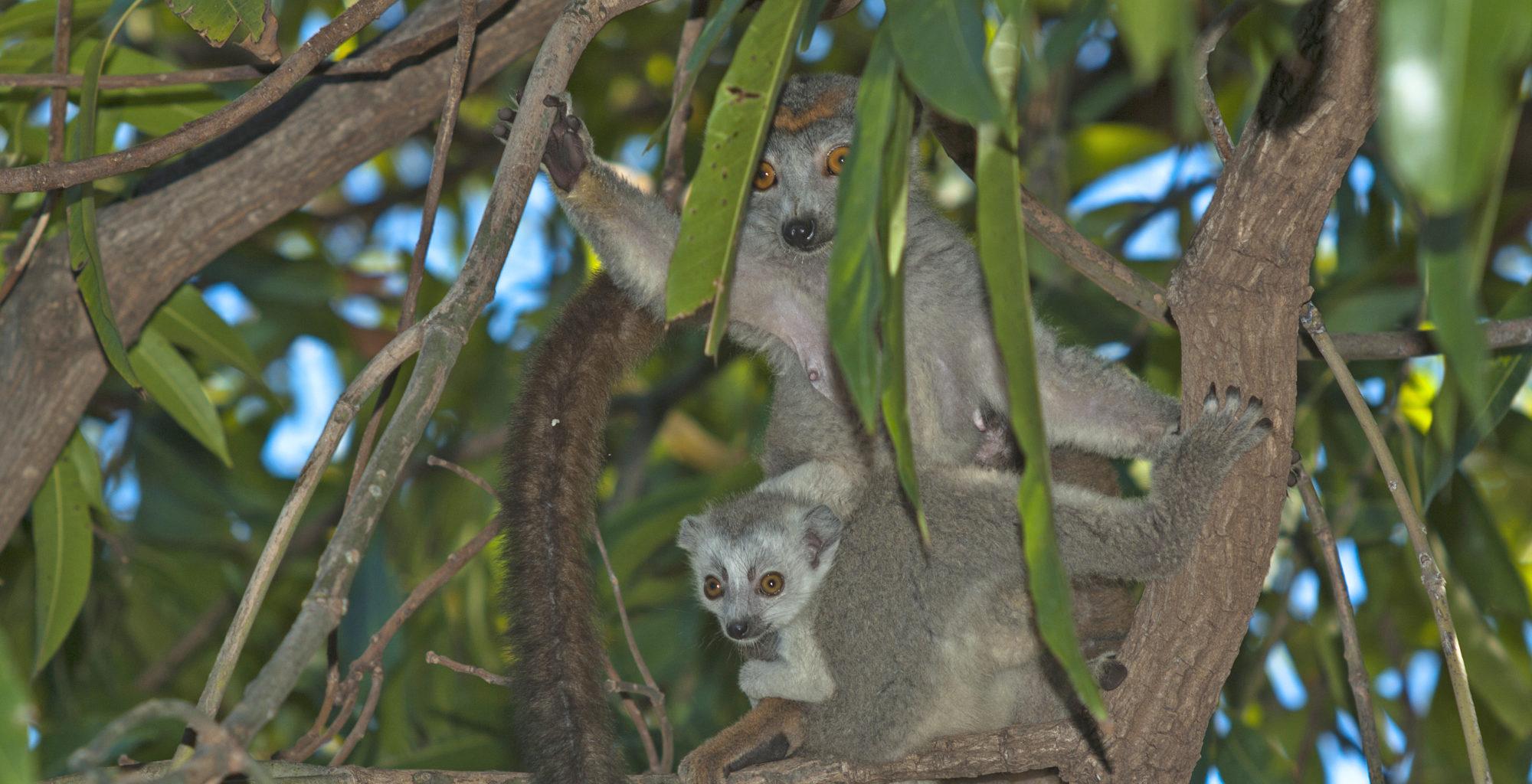 Madagascar Lemur North Miavana