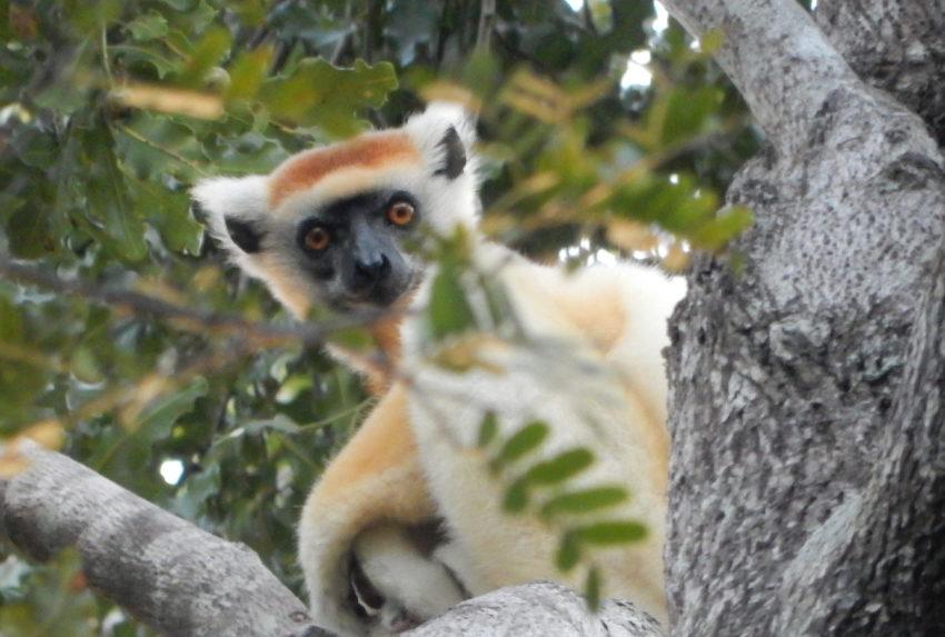 Madagascar Endemic Animal