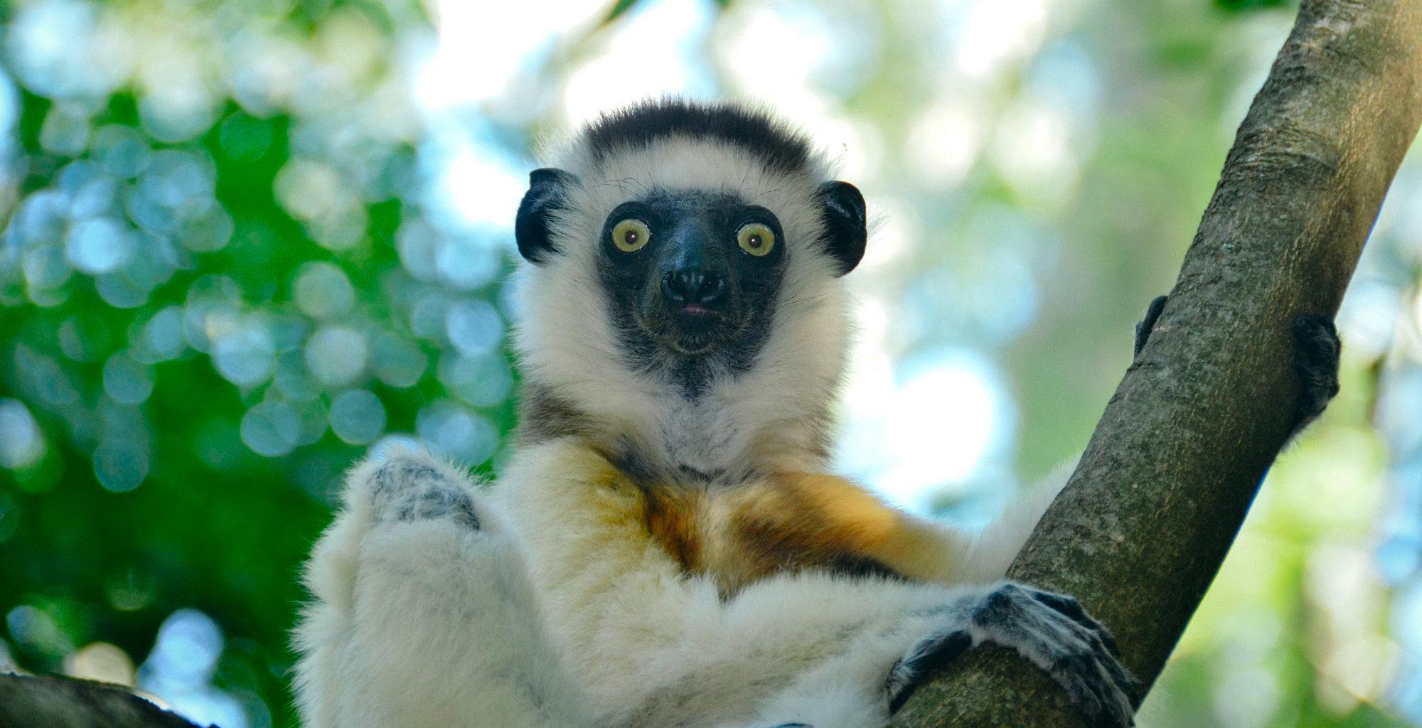 South-Madagascar-Wildlife-Lemur