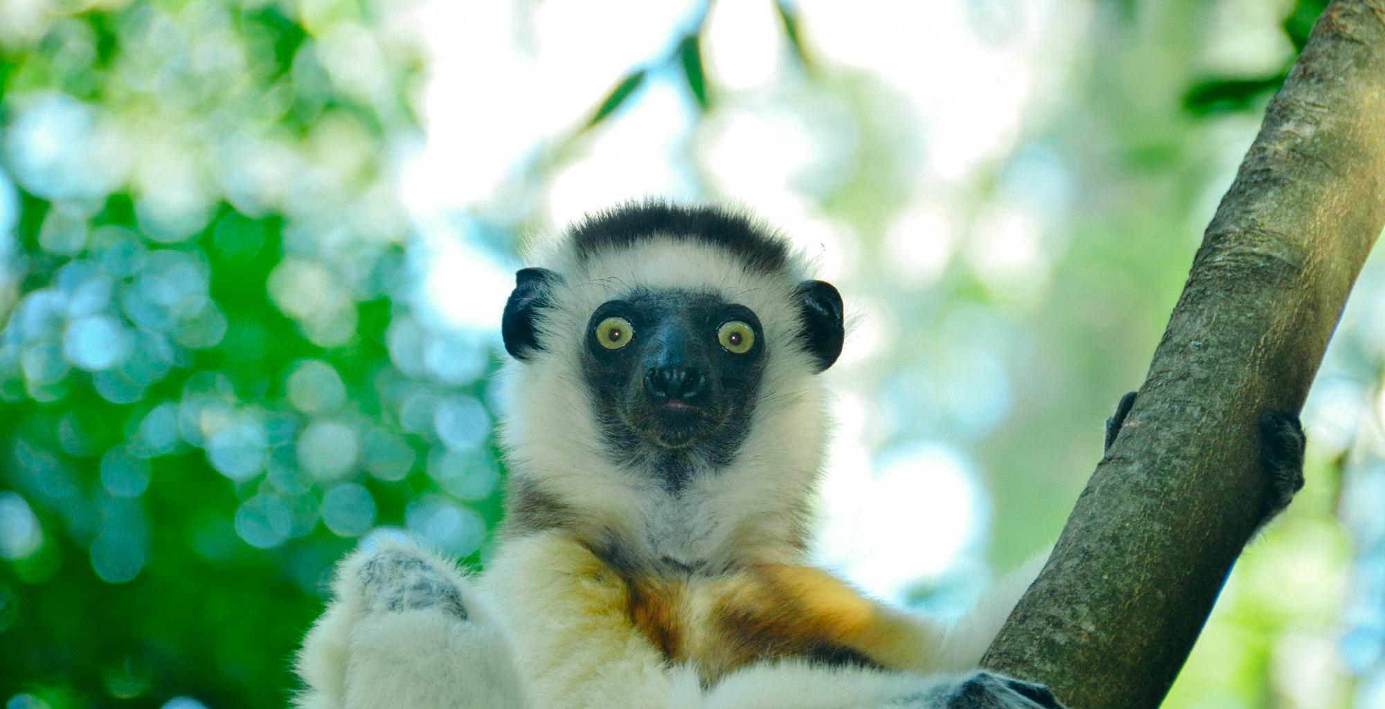 Madagascar-Mandrare-River-Camp-Lemur