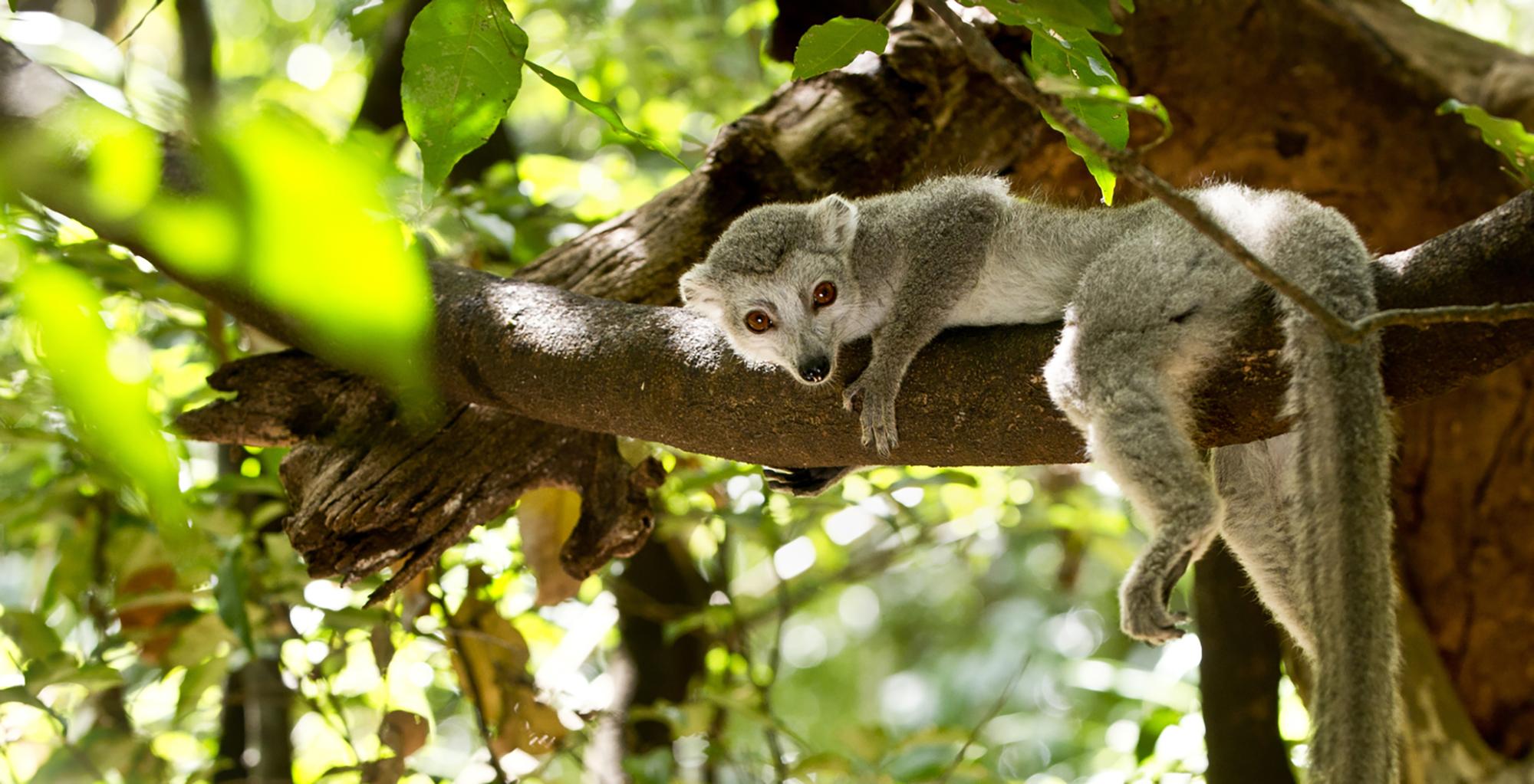 North-Madagascar-Wildlife-Lemur