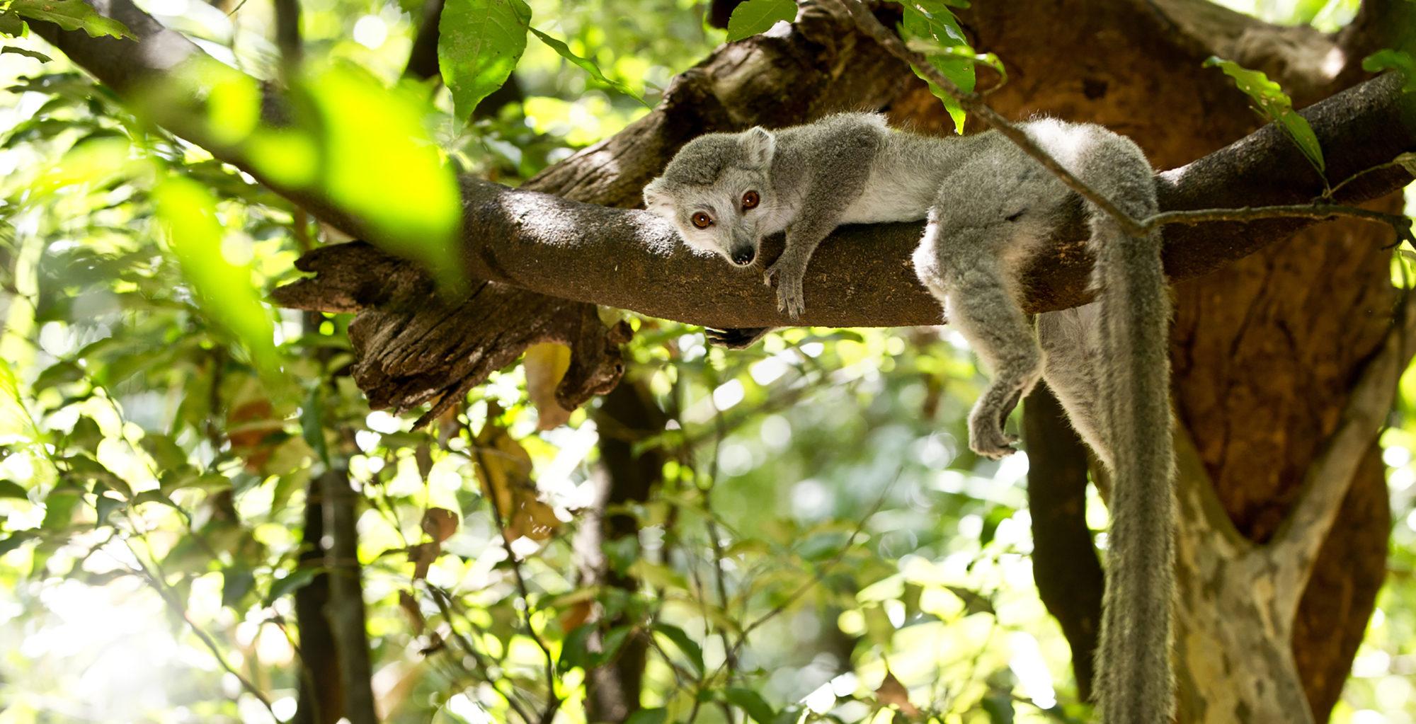 Madgascar-Iharana-Bush-Camp-Lemur