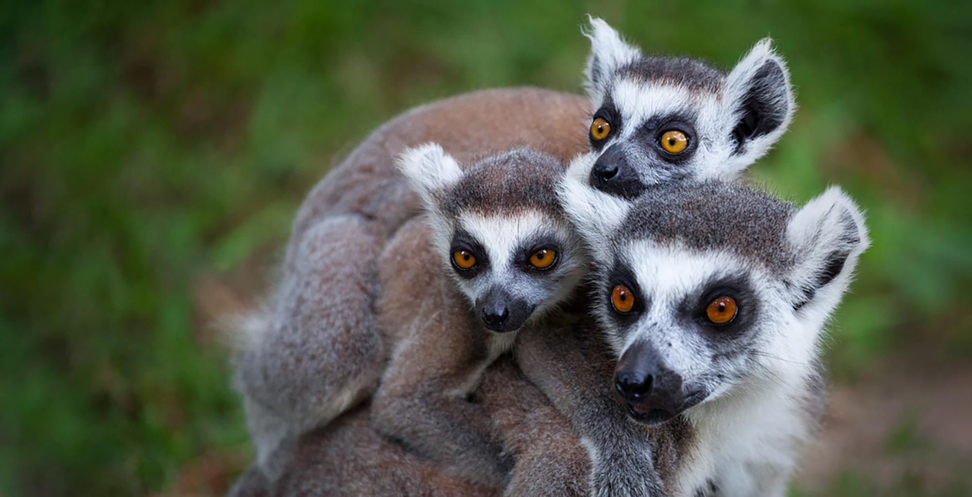 North-Madagascar-Wildlife-Lemurs