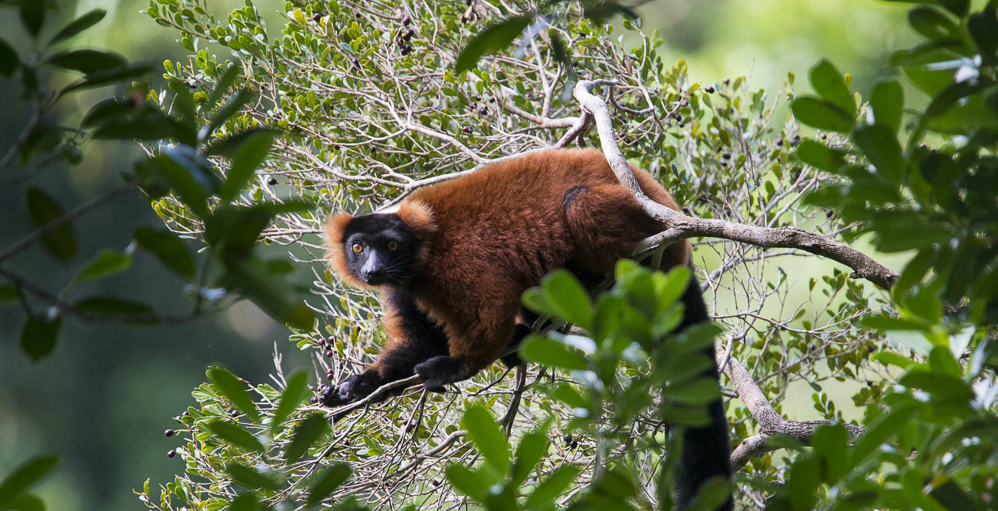 East-Madagascar-Wildlife-Lemur