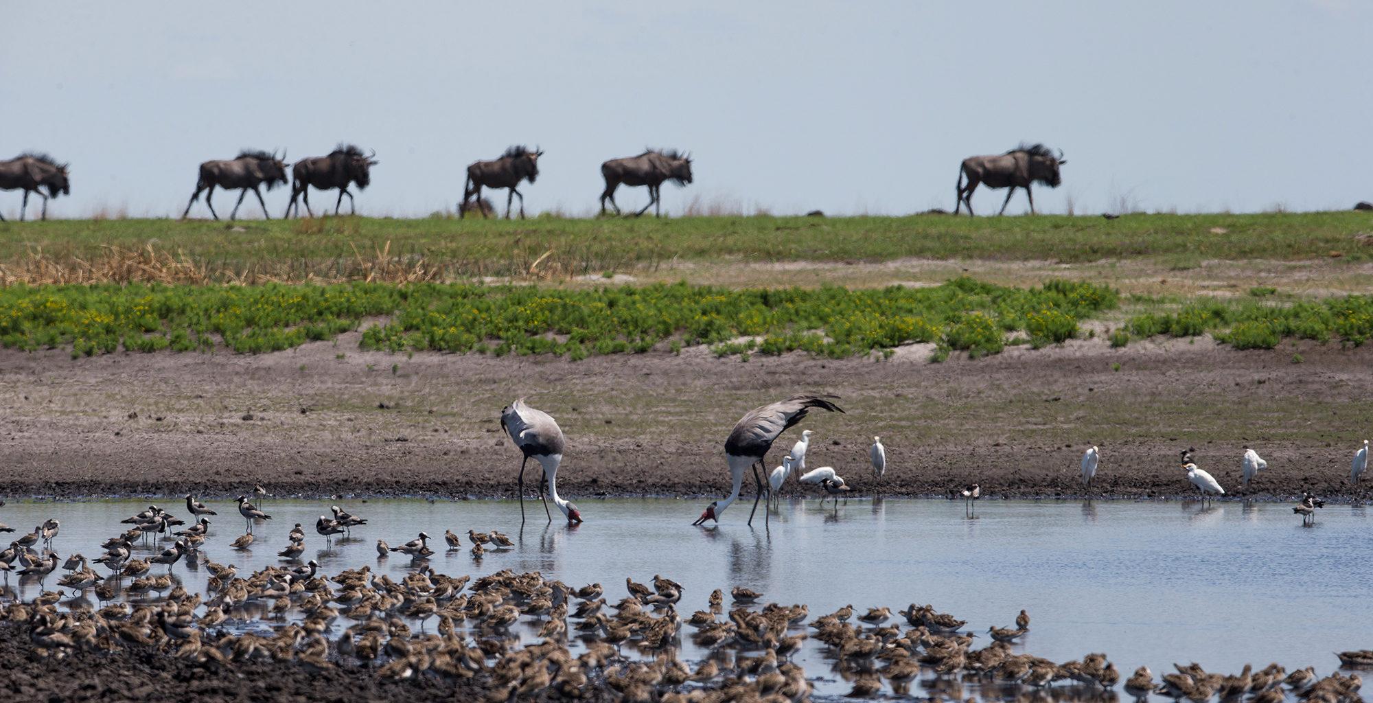 Zambia-Liuwa-Plain-Wildlife-Birds
