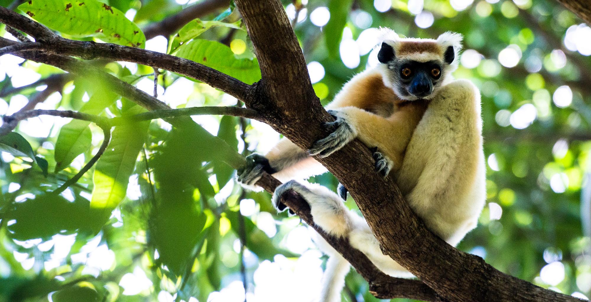 Madagascar-Wildlife-Lemur