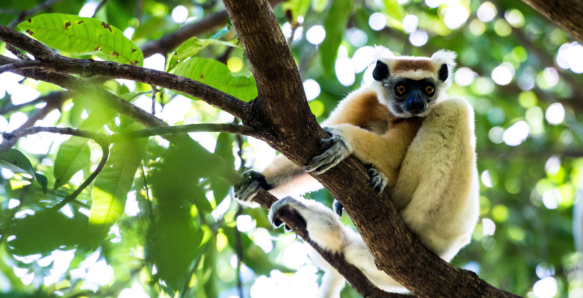 Madagascar-Time-and-Tide-Miavana-Lemur