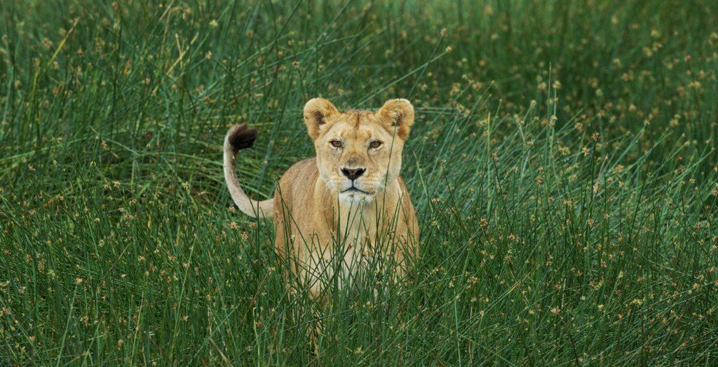 Lioness in Big Marsh Tanzania