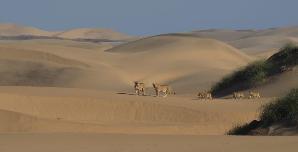 Dr_Flip_Stander Desert Lion Namibia