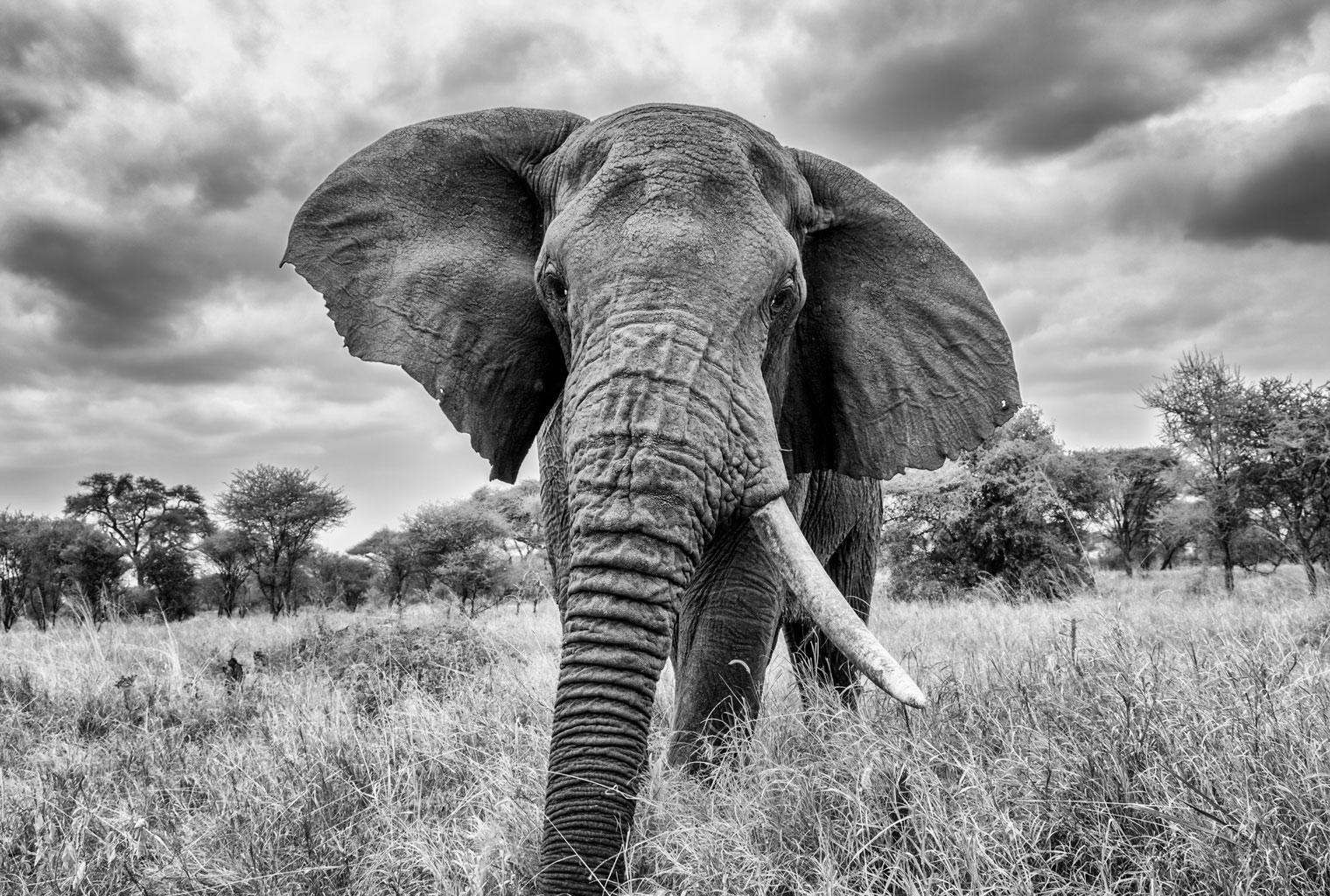 Big-Wildlife-Trek-Tarangire-Elephant