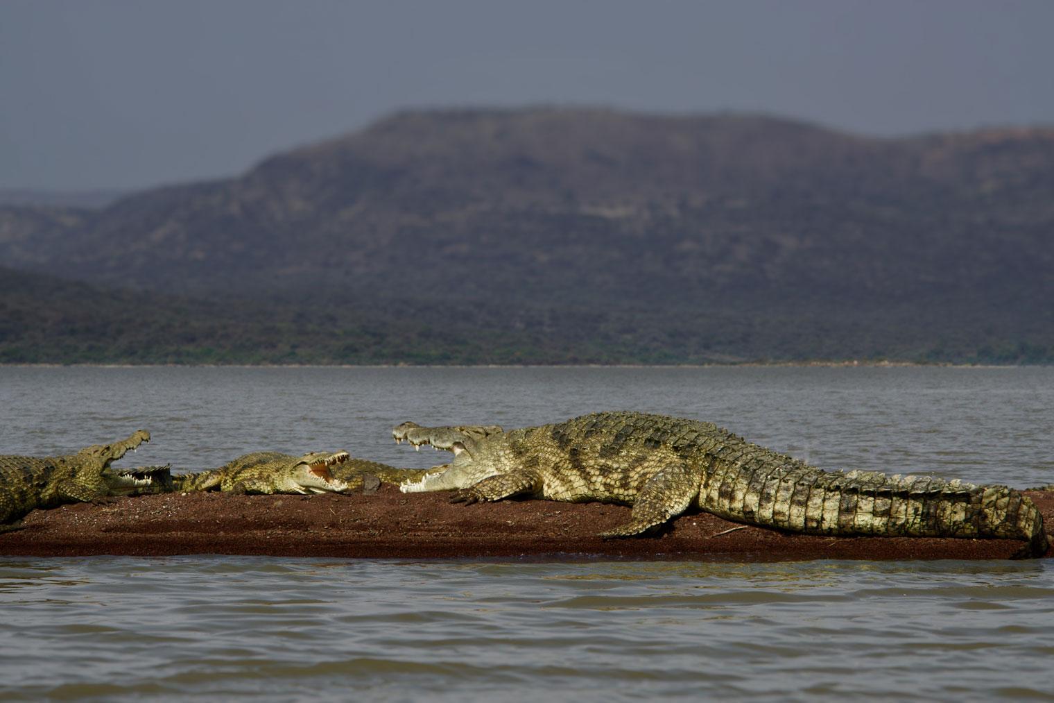 Ethiopia-Arba-Minch-Wildlife-Crocodile