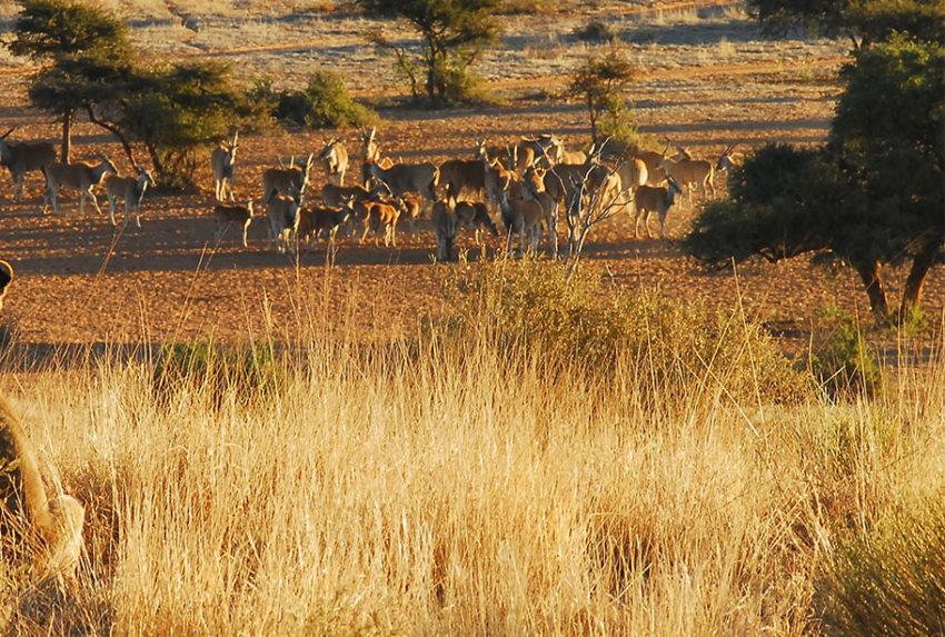 Lion hunt in Tswalu Kalahari