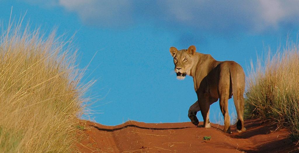 Lioness-Tswalu-Kalahri