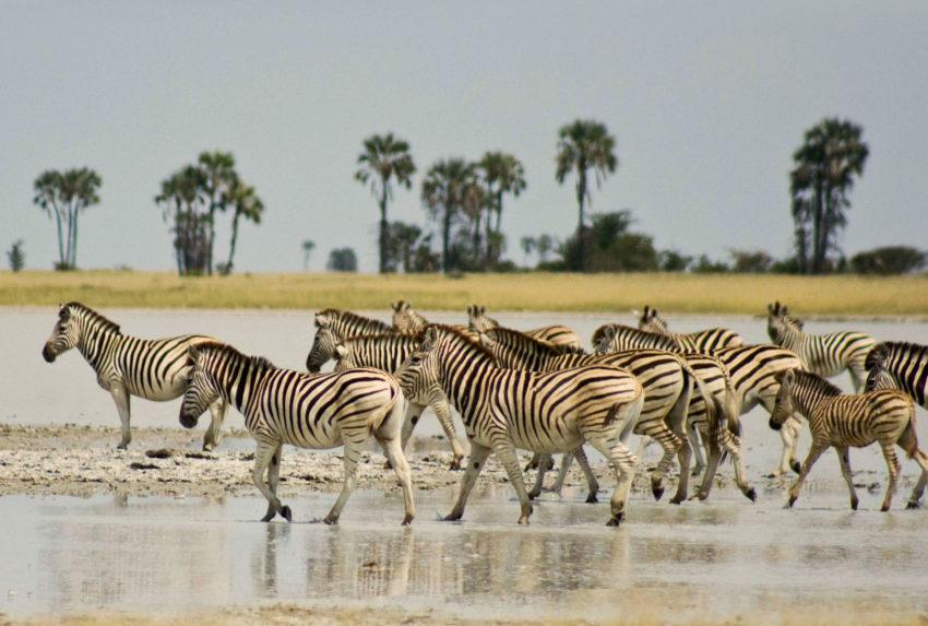 Zebras-Magkadigkadi