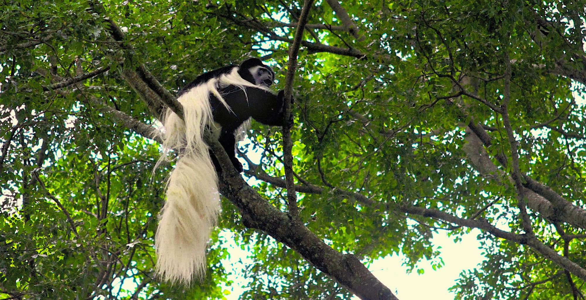 Tanzania-Rubondo-Island-Colobus-Monkey