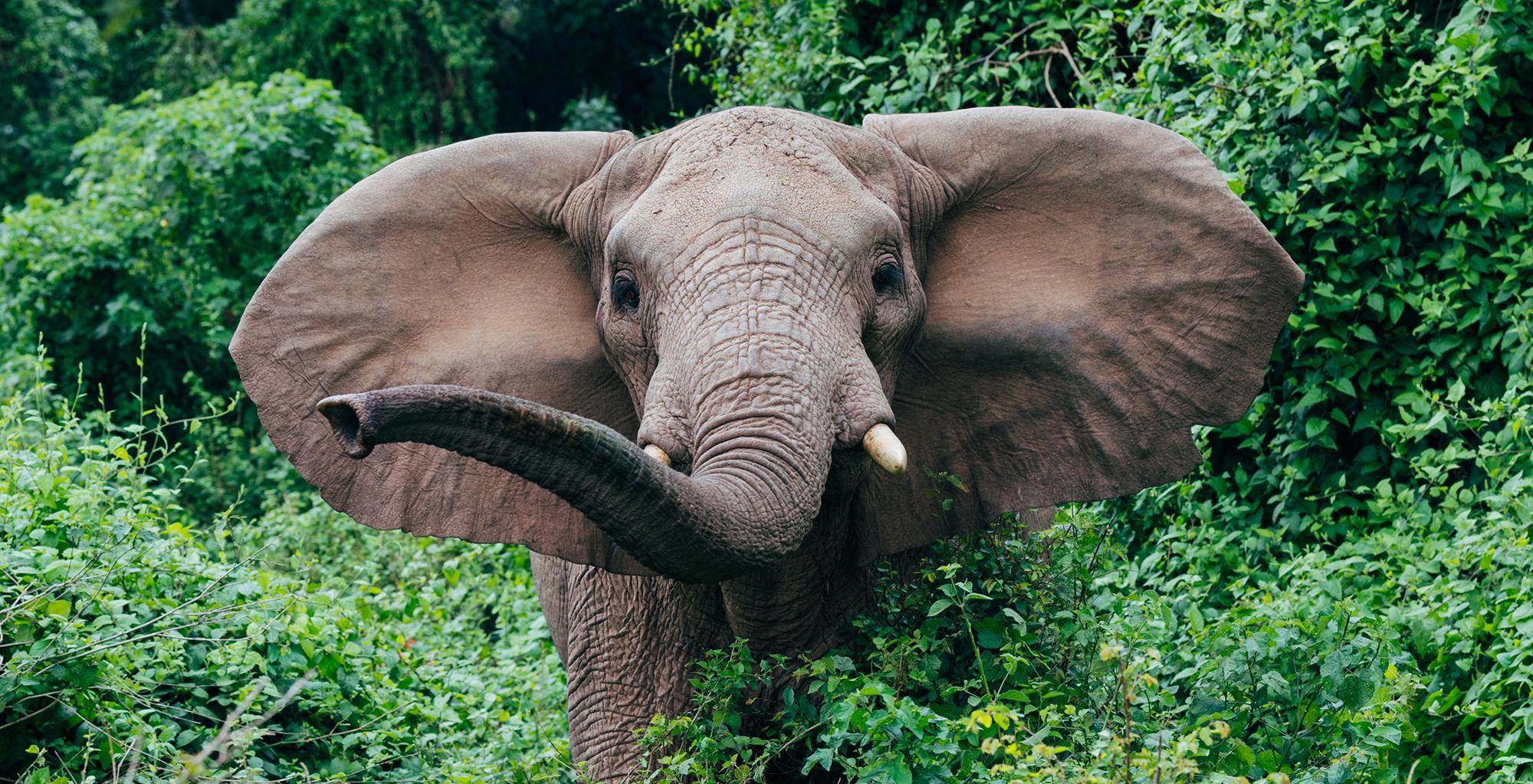 Tanzania-Rubondo-Island-Elephant