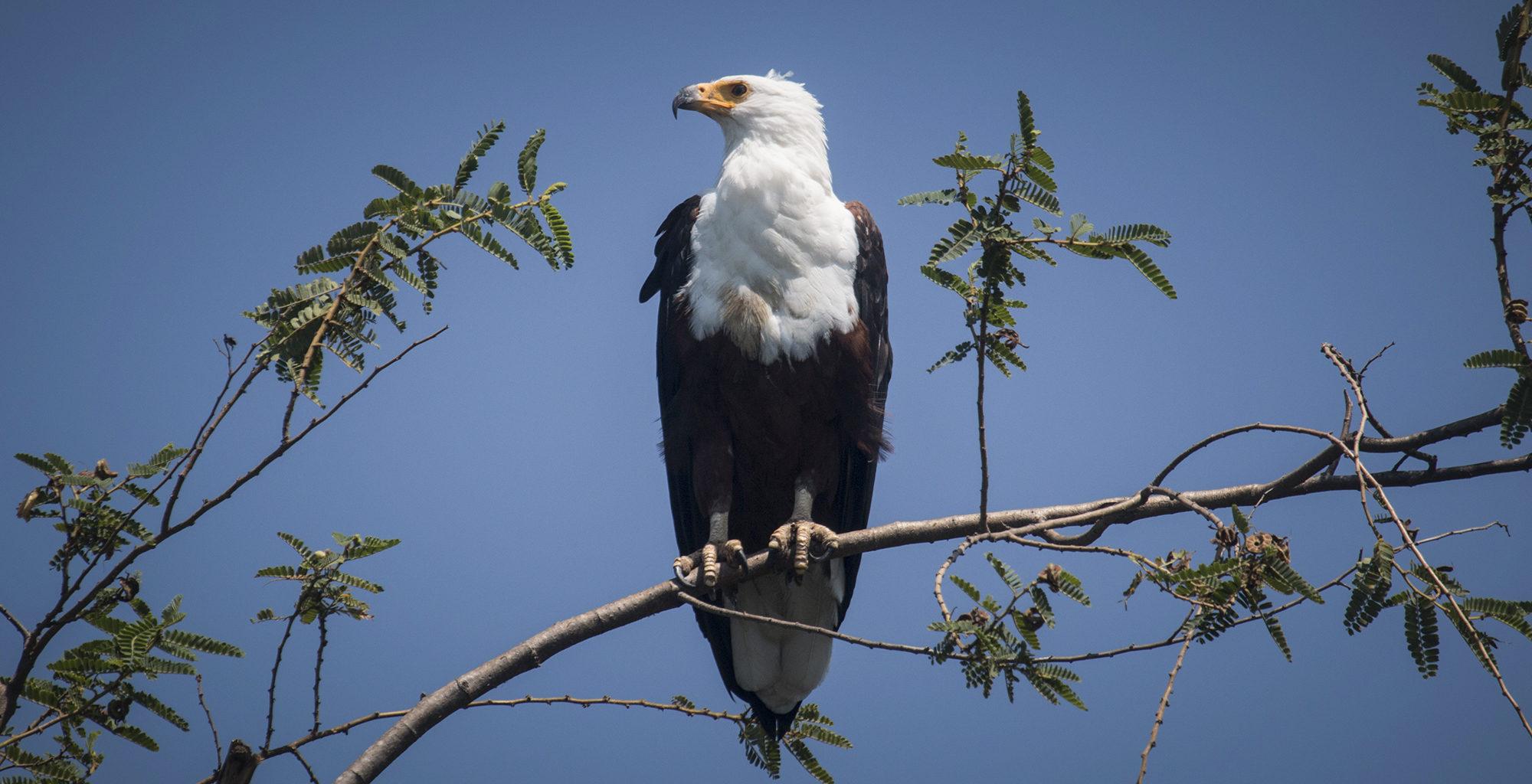 Tanzania-Rubondo-Island-Fish-Eagle