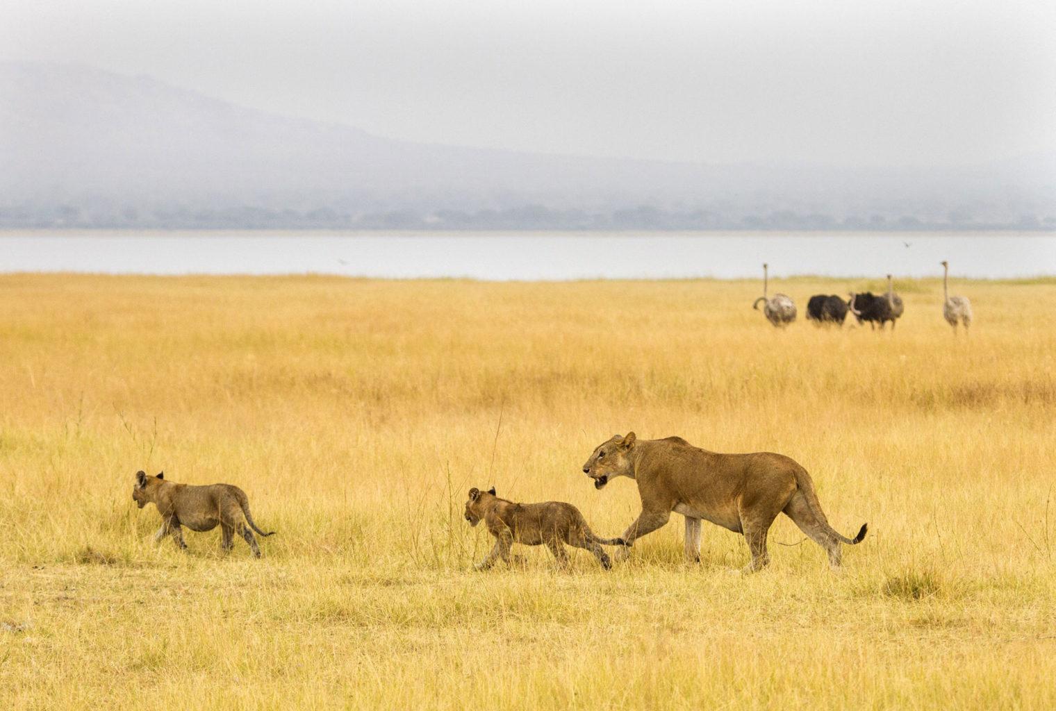 Big Wildlife Trek Tarangire Cheetah