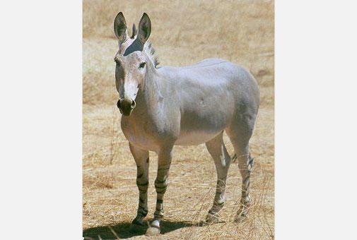 Equus-africanus-brent-huffman-ultimate-ungulate
